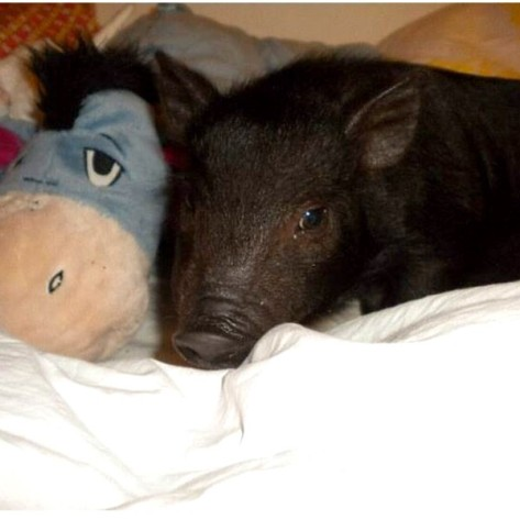 pet piglet with donkey from Pooh bear